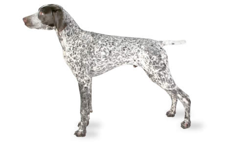 file_22976_german-shorthaired-pointer